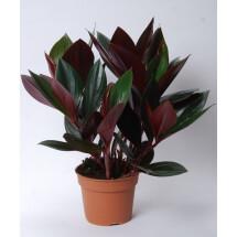 "Costus erythrophyllus ""Ruby Green"""