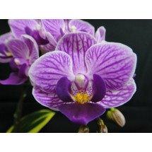 """Doritaenopsis Sogo Vivien """"Golden Vivien Big"""""""
