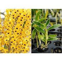 """Dendrobium Golden Blossom """"Variegated Leaf"""""""