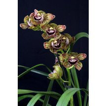 Cymbidium Harriet Ishitani 'Big'