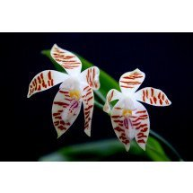 Phalaenopsis corningiana x corningiana