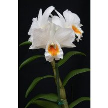 Dendrobium Formidible `Ryoma`