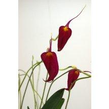 Masdevallia coccinea