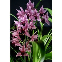 Cymbidium Devon Wine `Million Veil`