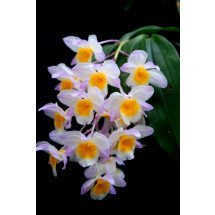 Dendrobium farmerii `Pink`