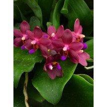 Doritaenopsis Abed-Nego `Penny` HCC/AOS