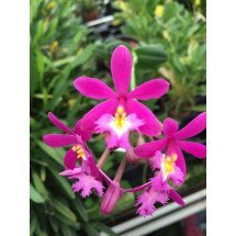 Epidendrum Pink Compact