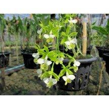 """Epidendrum stamfordianum """"alba"""""""