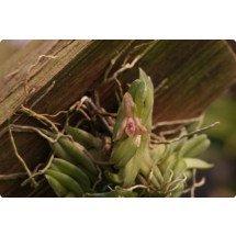 """Epidendrum schlechterianum """"Big"""""""