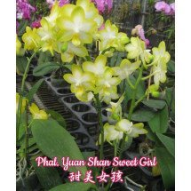 Phalaenopsis Yuan Shan Sweet Girl