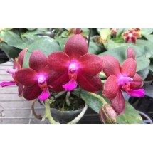 Phalaenopsis Fusheng World FS