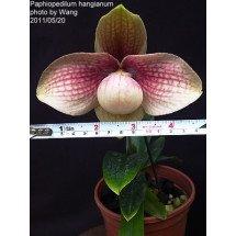 """Paphiopedilum. hangianum """"Red"""""""