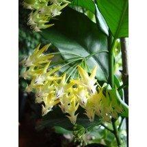 Hoya multiflora