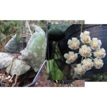 """Hoya imbricata """"Green leaves"""""""