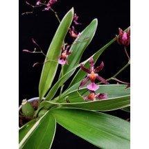 "Oncidium Katharina Zoch ""Mieke var. variegata"" (Fragrance) ""Big plant"""