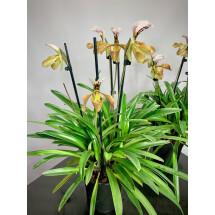 """Paphiopedilum gratixianum """"Big XXL plant """""""