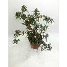 Begonia partita