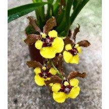 Oncidium croesus (Gomesa croesus)