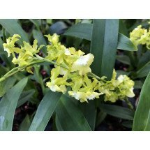 Oncidium Misaki Obry 'Only You Yellow'