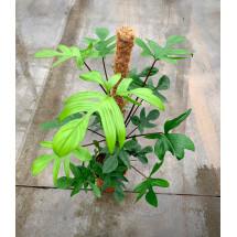 Philodendron pendatum ''Big plant'' (op mos stok 90 cm)