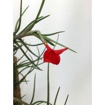 Tillandsia albertiana (2 st.)