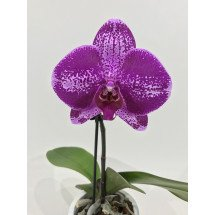 "Phalaenopsis Big Singolo ""Purple"""