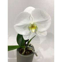 "Phalaenopsis Big Singolo ""White"""