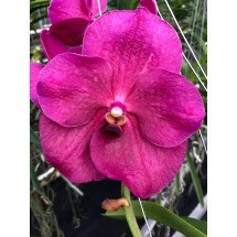 Vanda Flamingo Red 4N
