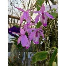 Barkeria spectabilis 'Big'