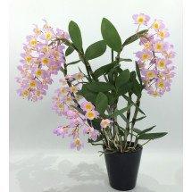 Dendrobium amabile O'Brien 1909