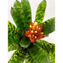 Aechmea orlandiana ''Big Clumb''