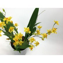 Oncidium Twinkle Yellow