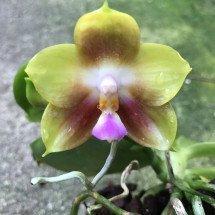 Phalaenopsis (Lds.Bear Queen x Amboinensis) x P.Dragon.Tree Eagle x Lds.Bear Queen