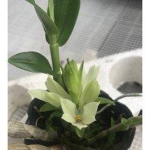 Dendrobium bracteosum var. album