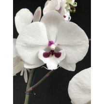 "Phalaenopsis Yushan Mammon Island ""Moustache"" (Chian Xem Mammon x Yu Pin Easter Island)"