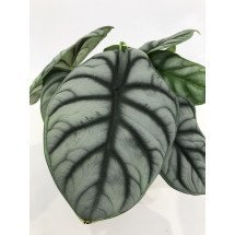"Alocasia Silver Dragon ""Big"""