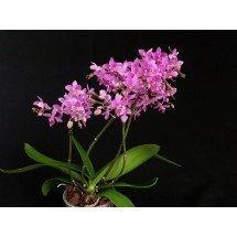 "Phalaenopsis equestris ""Pink Graz"""