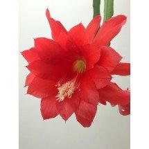 "Epiphyllum ackermannii ""Red"" ""Big"""