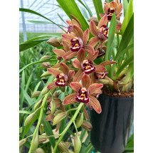Cymbidium Cascade 'Indian Summer'