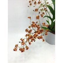 Oncidium Twinkle Border Red/Dark Orange