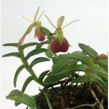 Epidendrum porpax