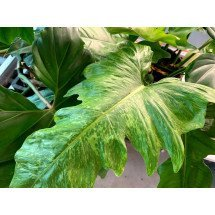 "Philodendron ""Golden Dragon"" Big plant"
