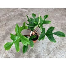 "Philodendron ""Florida"""