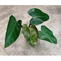 Philodendron Mandianum