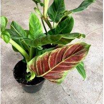 """Philodendron """"Subhastatum"""" """"Big Plant"""""""