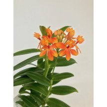 "Epidendrum radicans ""Orange"""