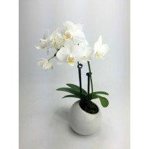 Phalaenopsis Sogo Jessica`White`(Big Plant)