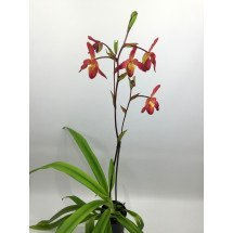 "Phragmipedium Living Fire ""Big Plant"""