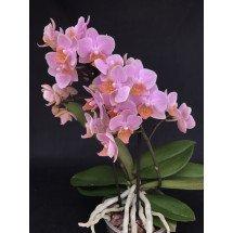 Phalaenopsis Brother Little Amaglad