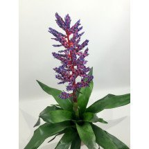 Aechmea Blue Rain 'Big'